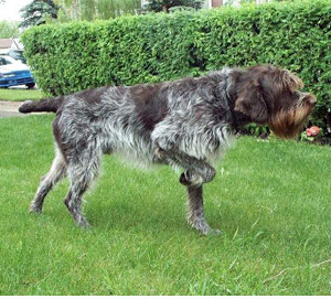 Wirehaired_Pointing_Griffon_Middle_Aged.jpg