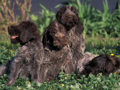 Wirehaired_Pointing_Griffon_Puppy.jpg