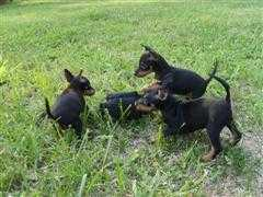 toy_manchester_terrier_puppies.jpg